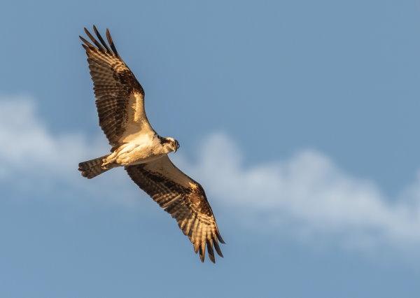 Hawk flying against blue sky