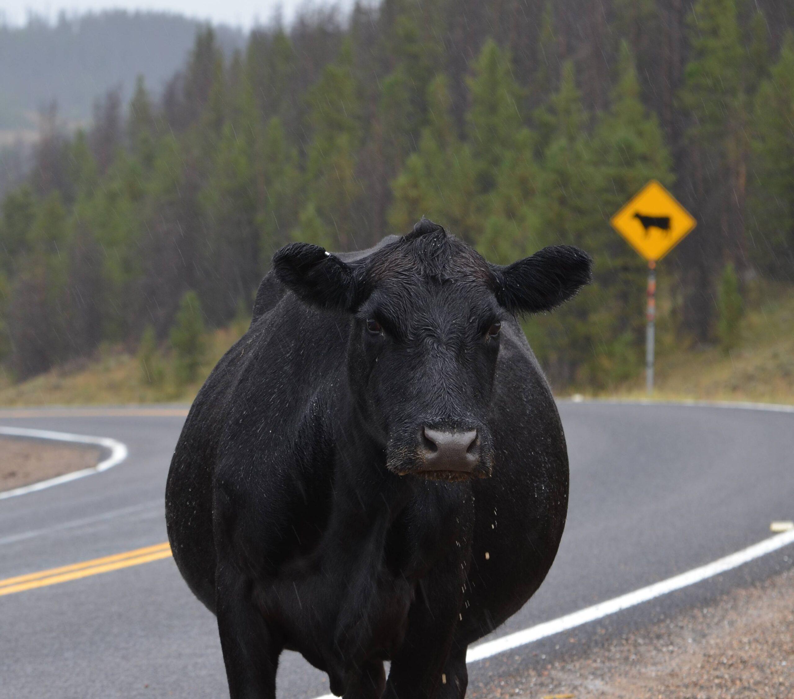 Free range steer stands along Colorado roadway.