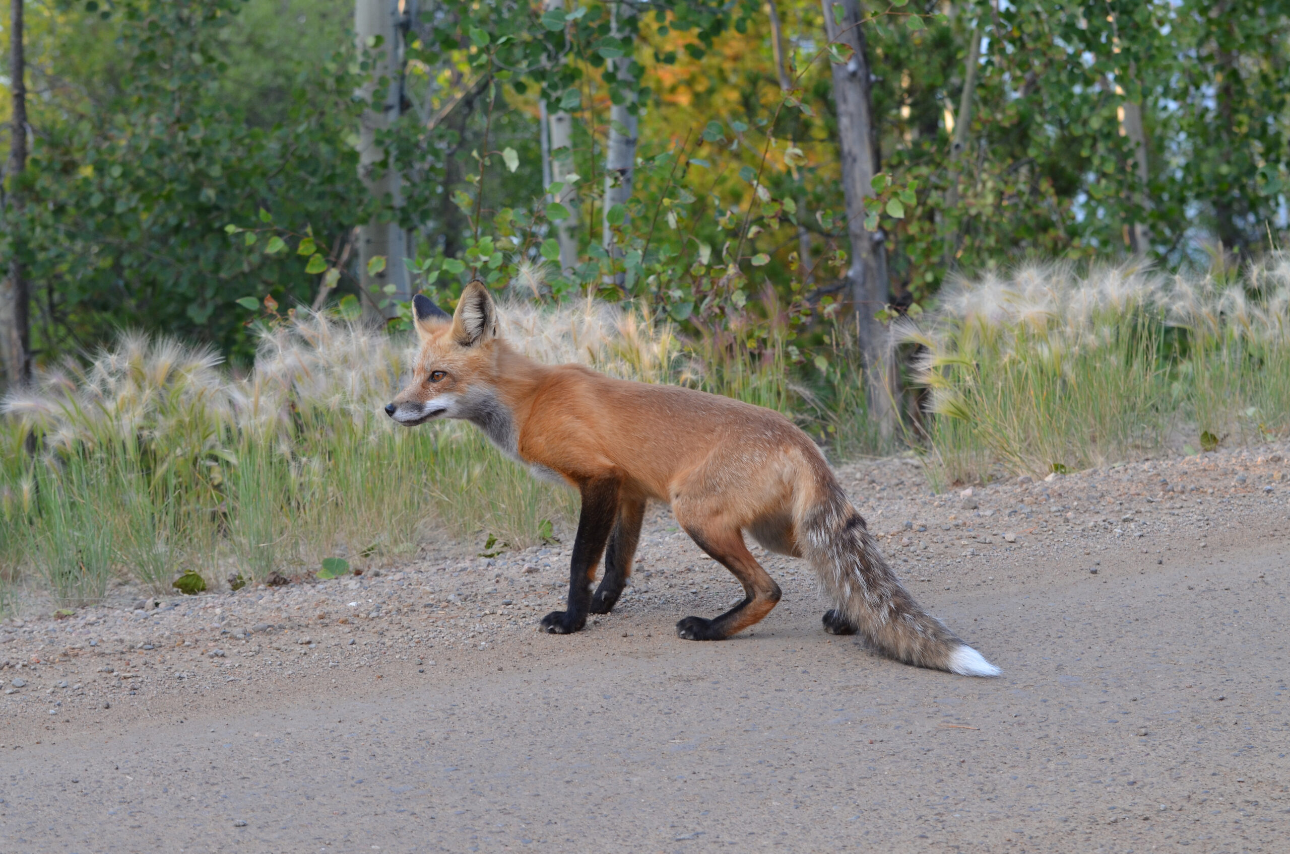 Red fox stands on roadside.