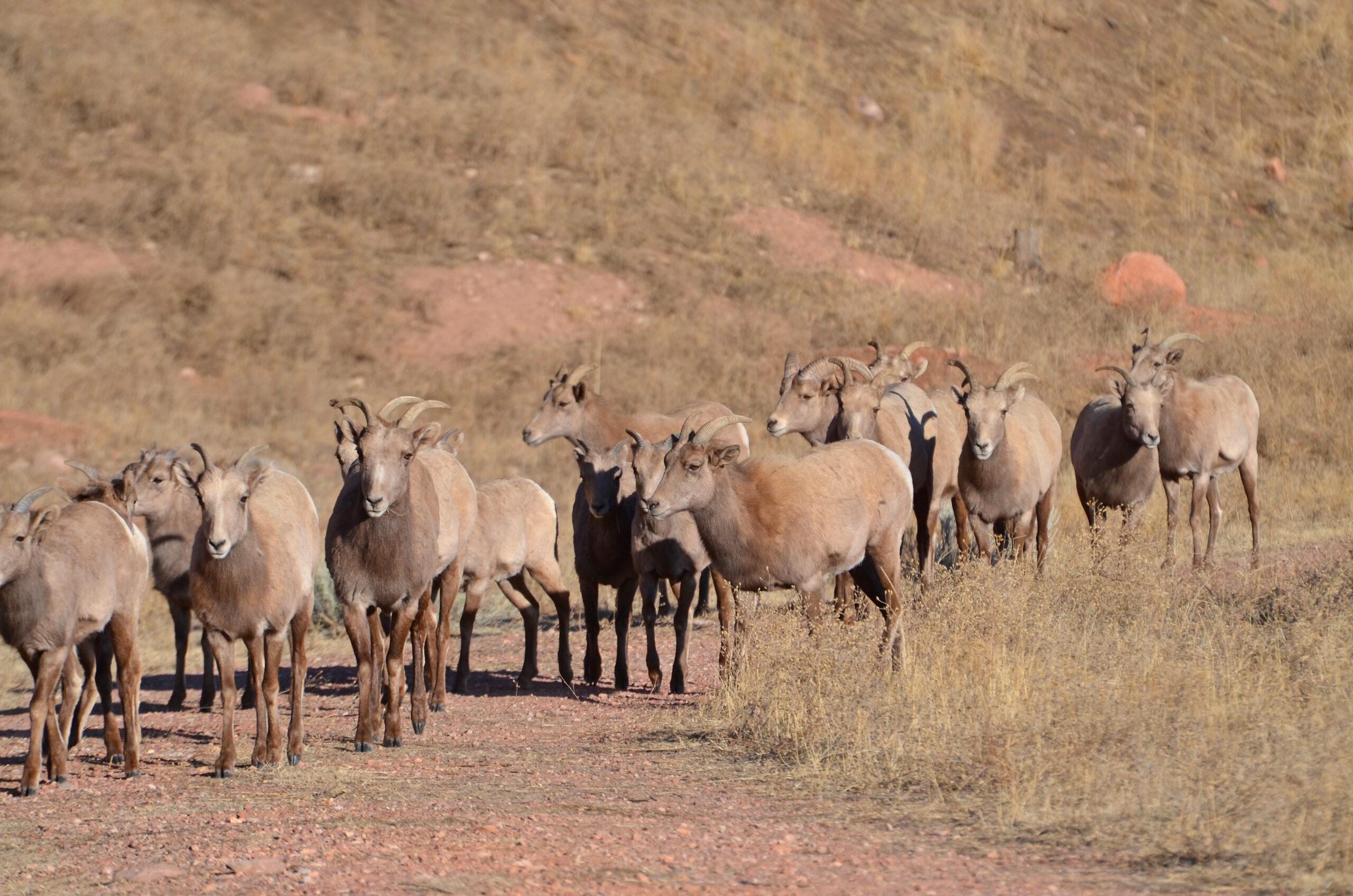 Rampart Bighorn Sheep Herd , Colorado Springs, 2018