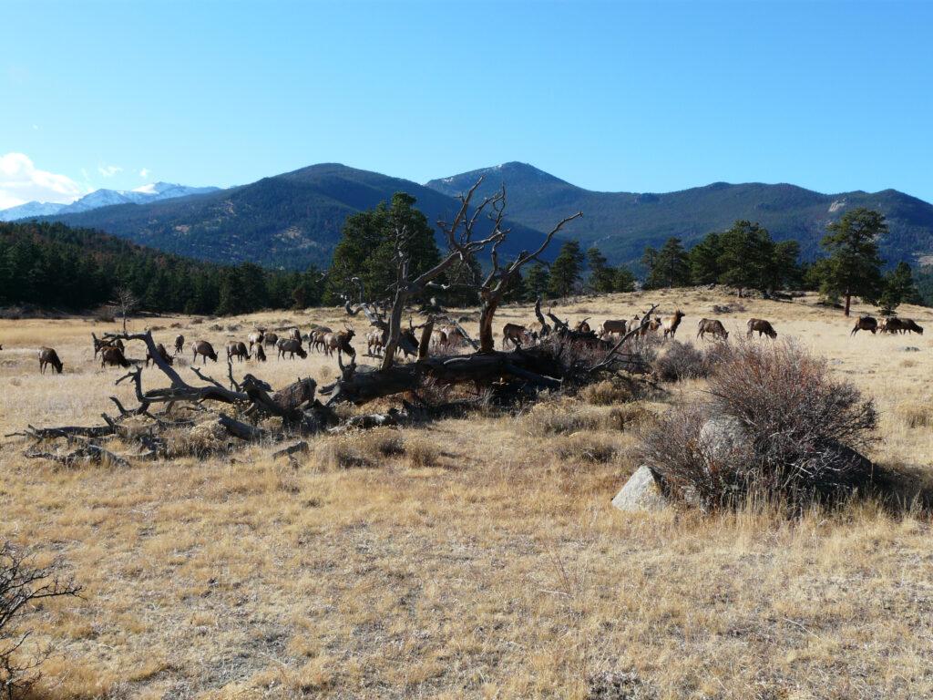 An elk herd grazes on Colorado public lands.