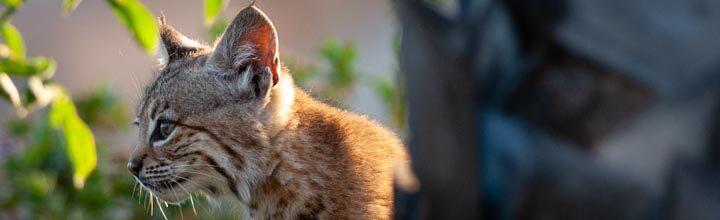 Banning, CA: Bobcats In My Back Yard