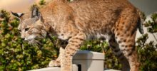Banning, CA: The Bobcats Are Back