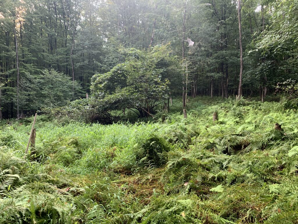 "image of ""Fern Gully"" an opening in the forest with an abundance of fern growth."