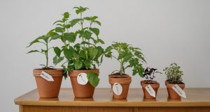 Spice plants sitting on a table.