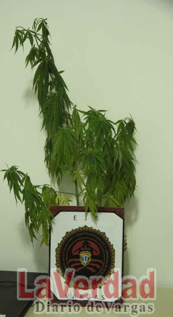 Decomisan mata de marihuana en vivienda en La Bloquera