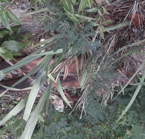 En ropa interior localizan cadáver de un adulto en La Veguita