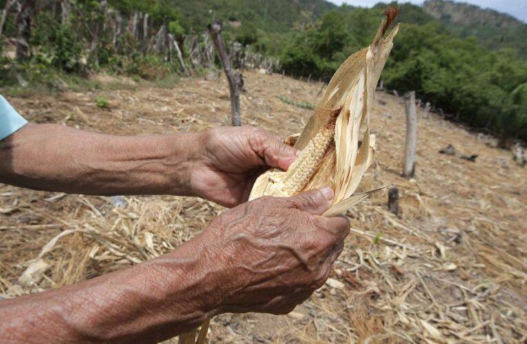 En Chichiriviche se pierden siembras por falta de agua