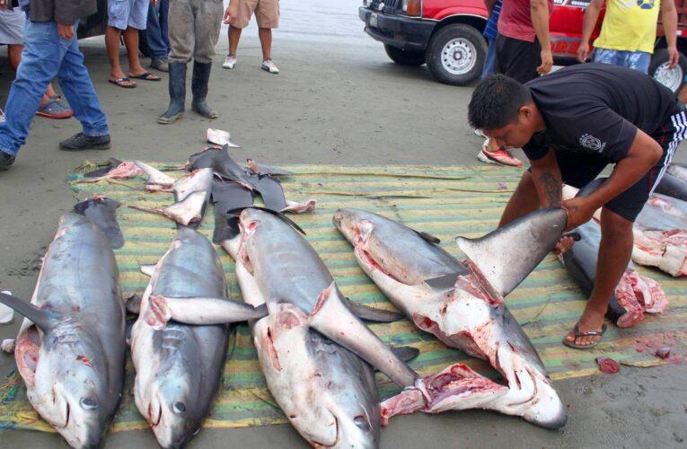 Seis países sudamericanos involucrados en el tráfico de tiburones
