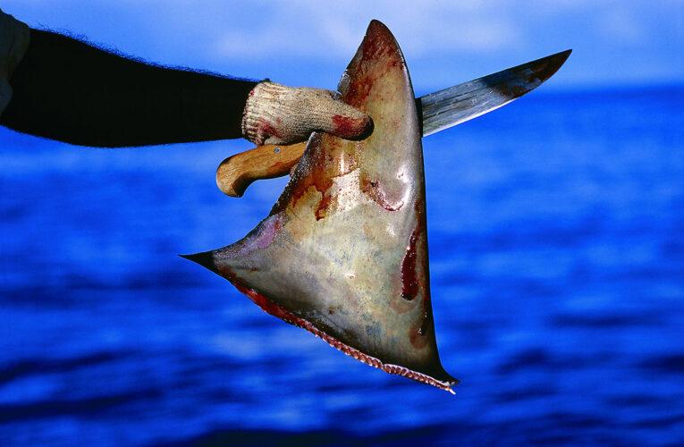 Desarticulada banda que traficaba aletas de tiburón en el exterior