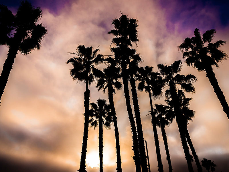 Santa Monica Palm Trees By Rodezno Studios