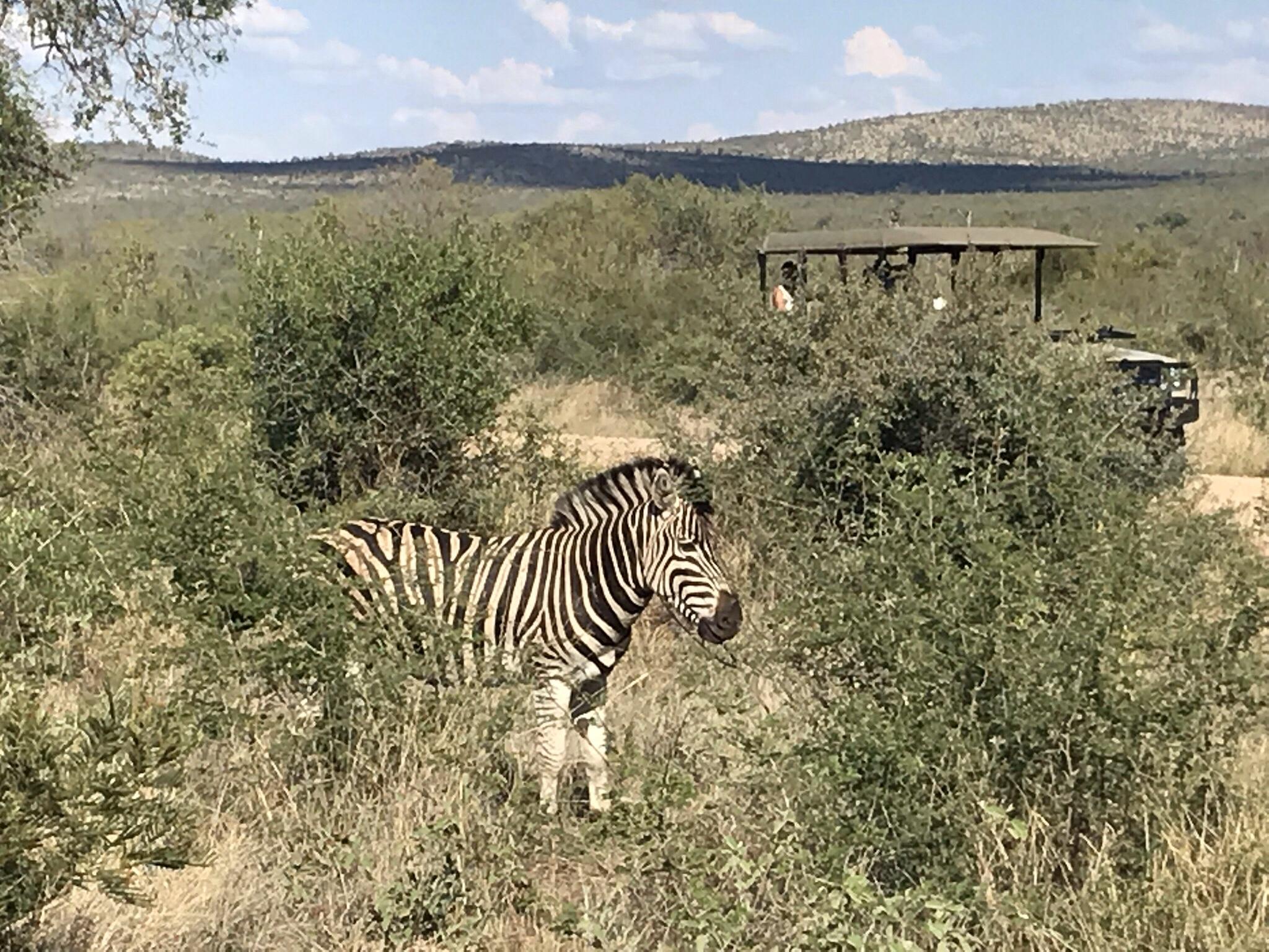 Zebra at Madikwe