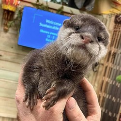 clawed-otter