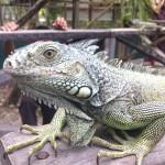 Iguana at San Ignacio Resort Hotel