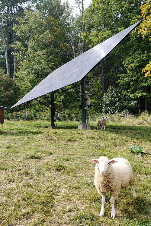 Solar array providing summer shelter for sheep in pasture.