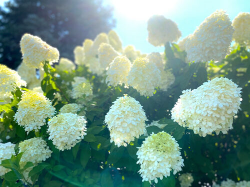 limelight-flowers