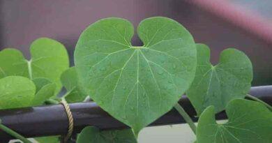 giloy-plant