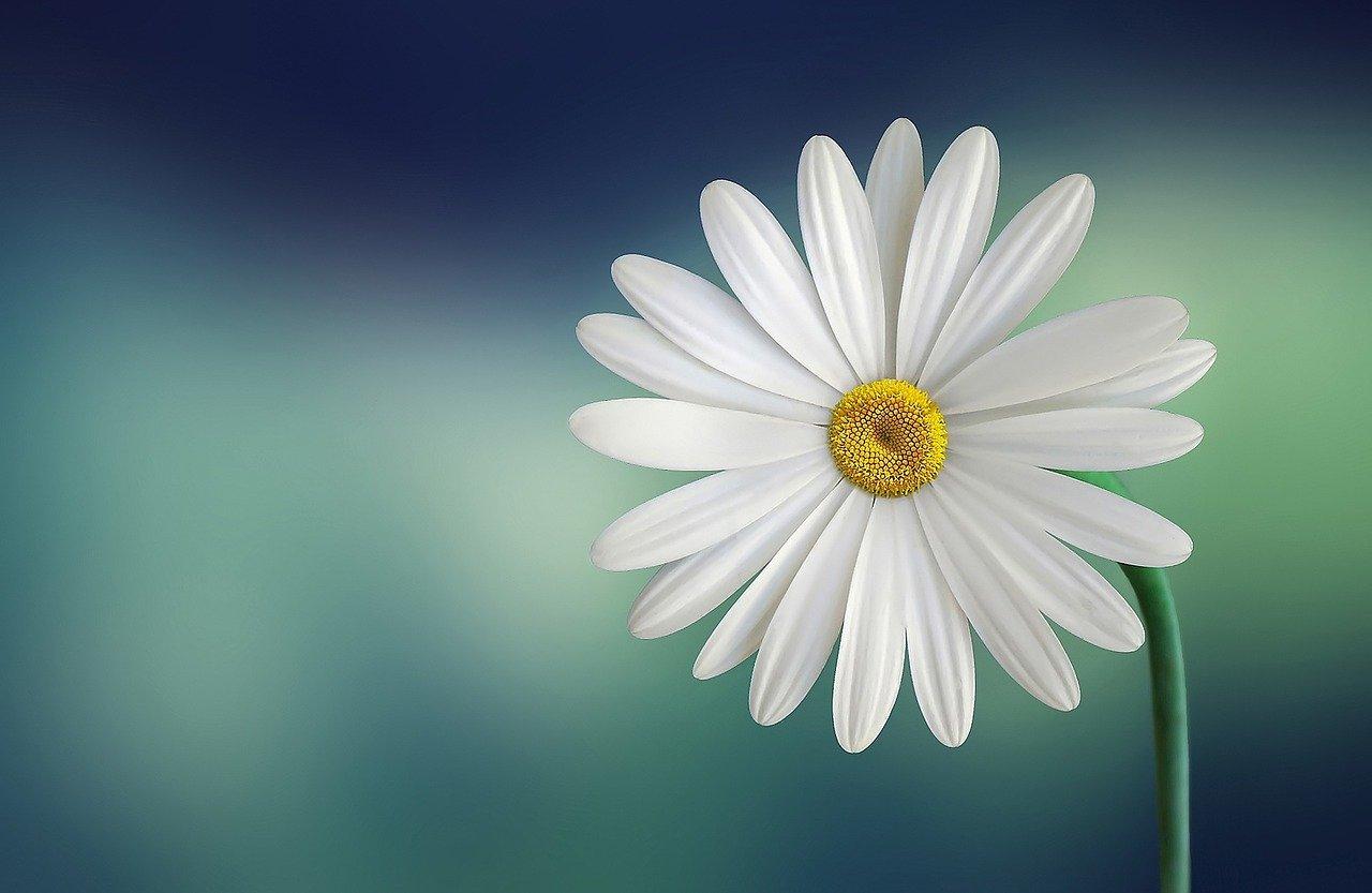 marguerite, daisy, flower