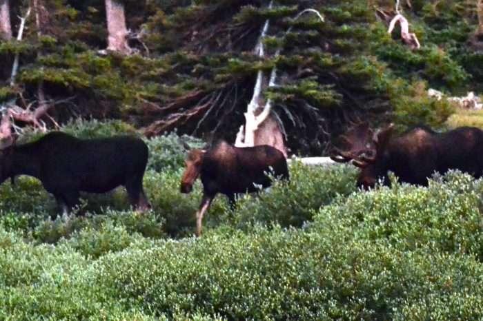 Three moose