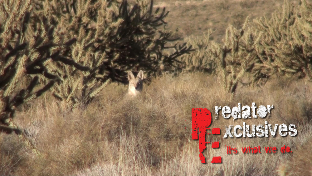 Another female coyote poking her head out of the Arizona desert while on a guided predator hunt.