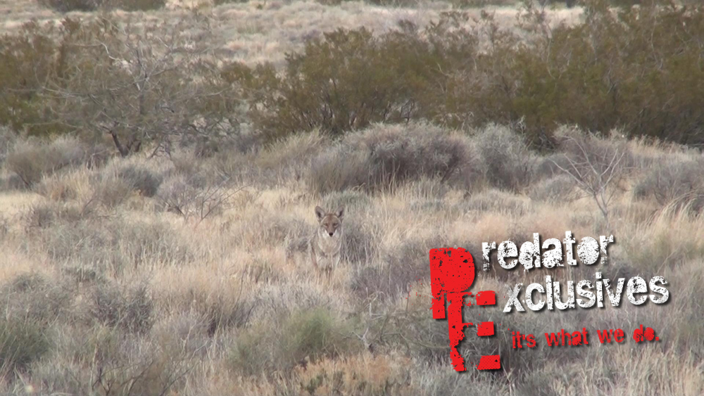 A desert female coyote on one of the predator hunting stands.