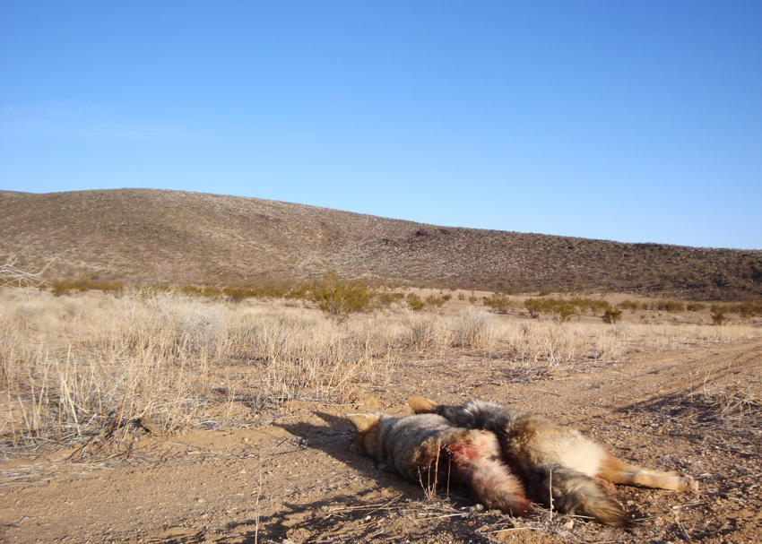 Coyotes can be numerous in the deserts' of Arizona