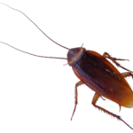 roach_PNG12174