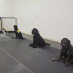 Poodle Class