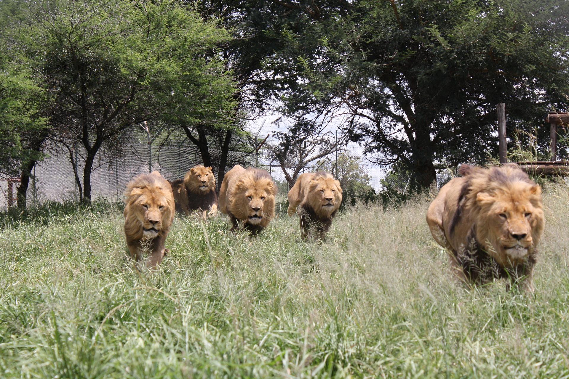 assertive like a lion