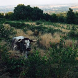 Longhorn cow, Beacon Hill, Leicestershire
