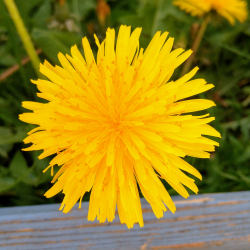 Dandelions are beautiful too