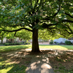 Underneath the spreading chestnut tree, Museum Square.
