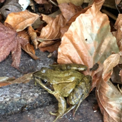 Frog pretending to be a leaf