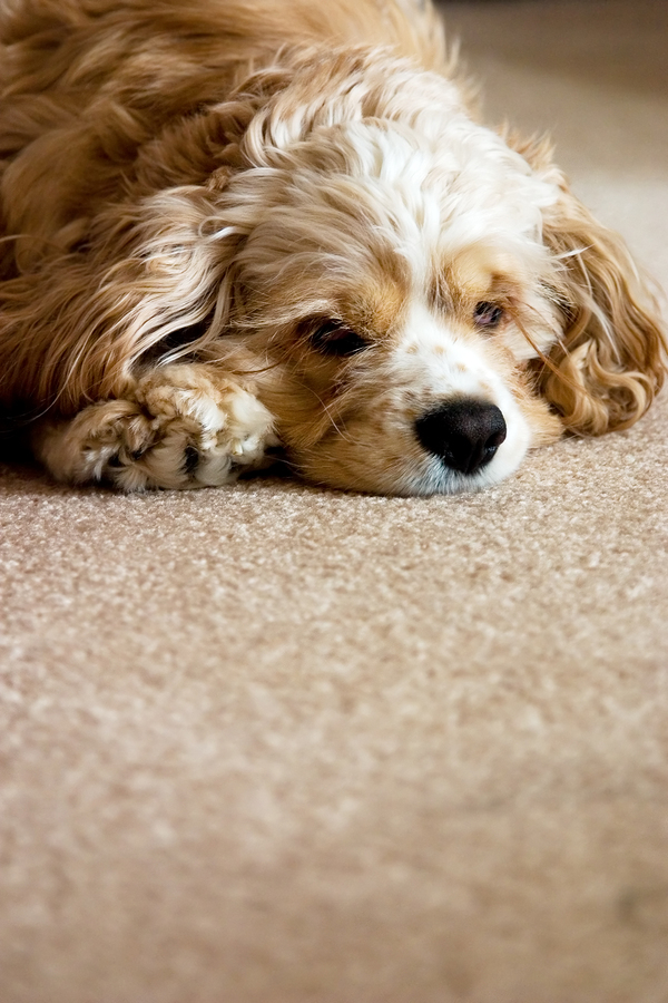 10 Tips For Keeping Carpets Clean With Pets Carpet Cleaning Services in Ashburn and Sterling VA