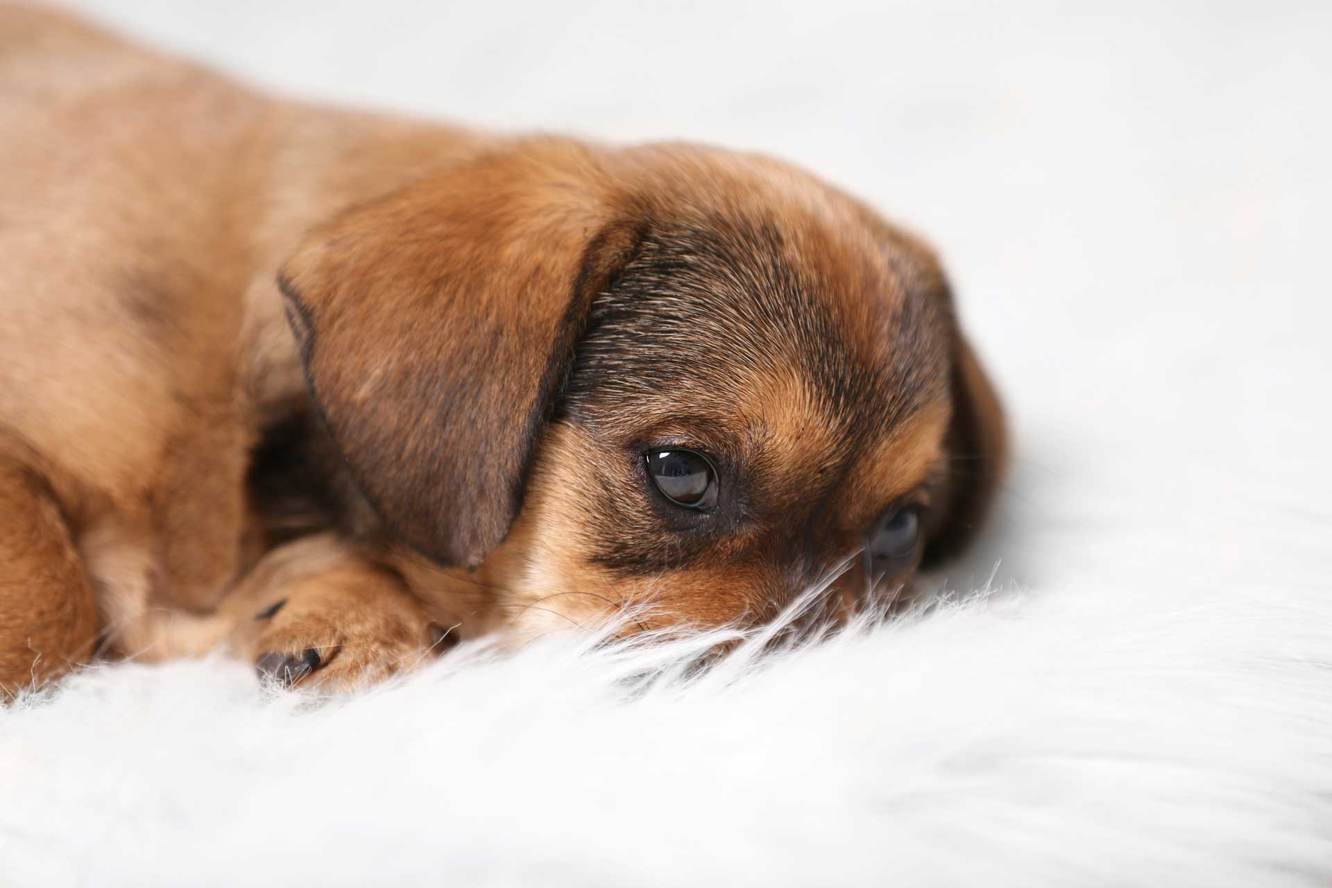 Pet odor removal with Carpet Keepers Leesburg VA