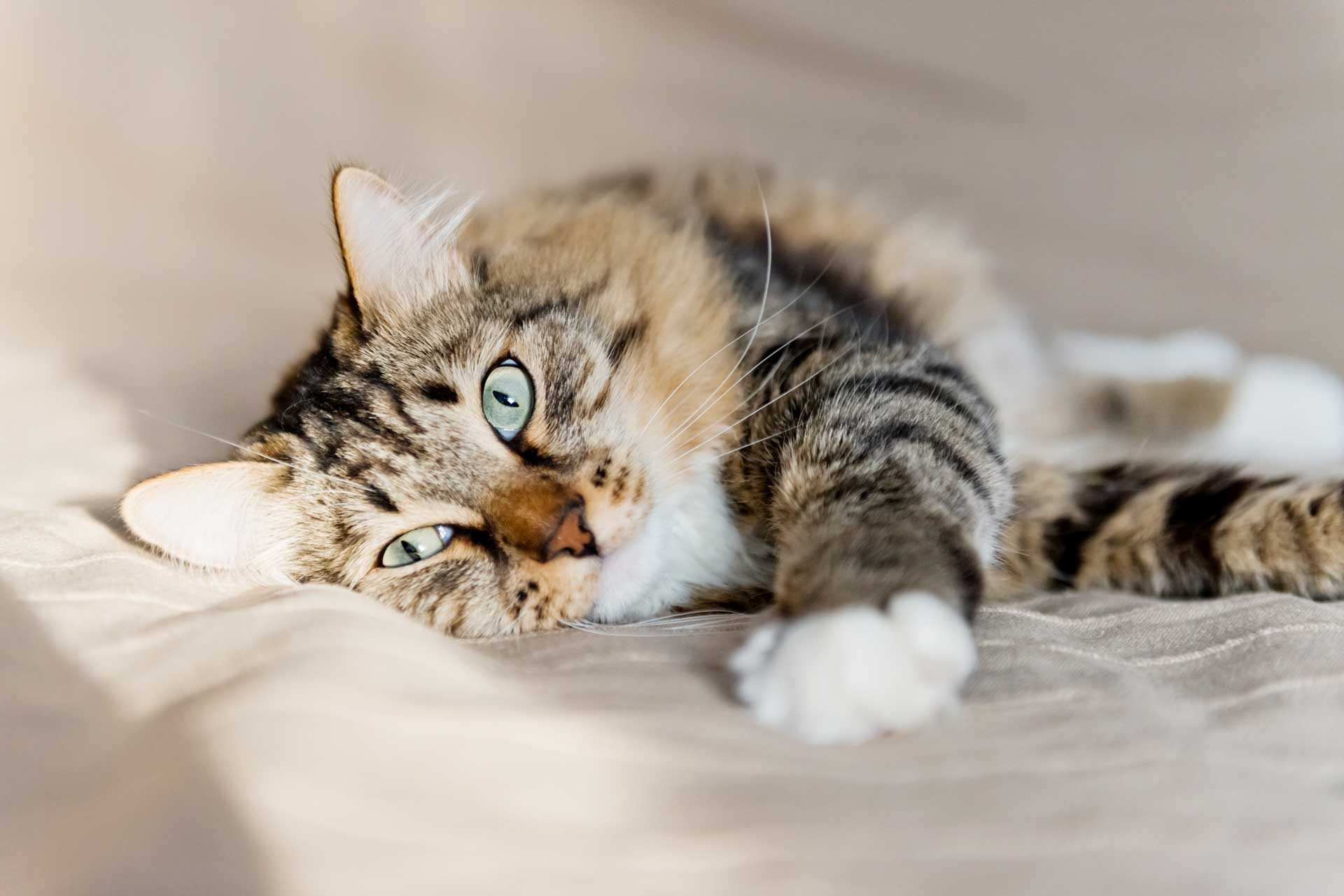 Cat urine on carpet Leesburg carpet cleaner can help.jpg