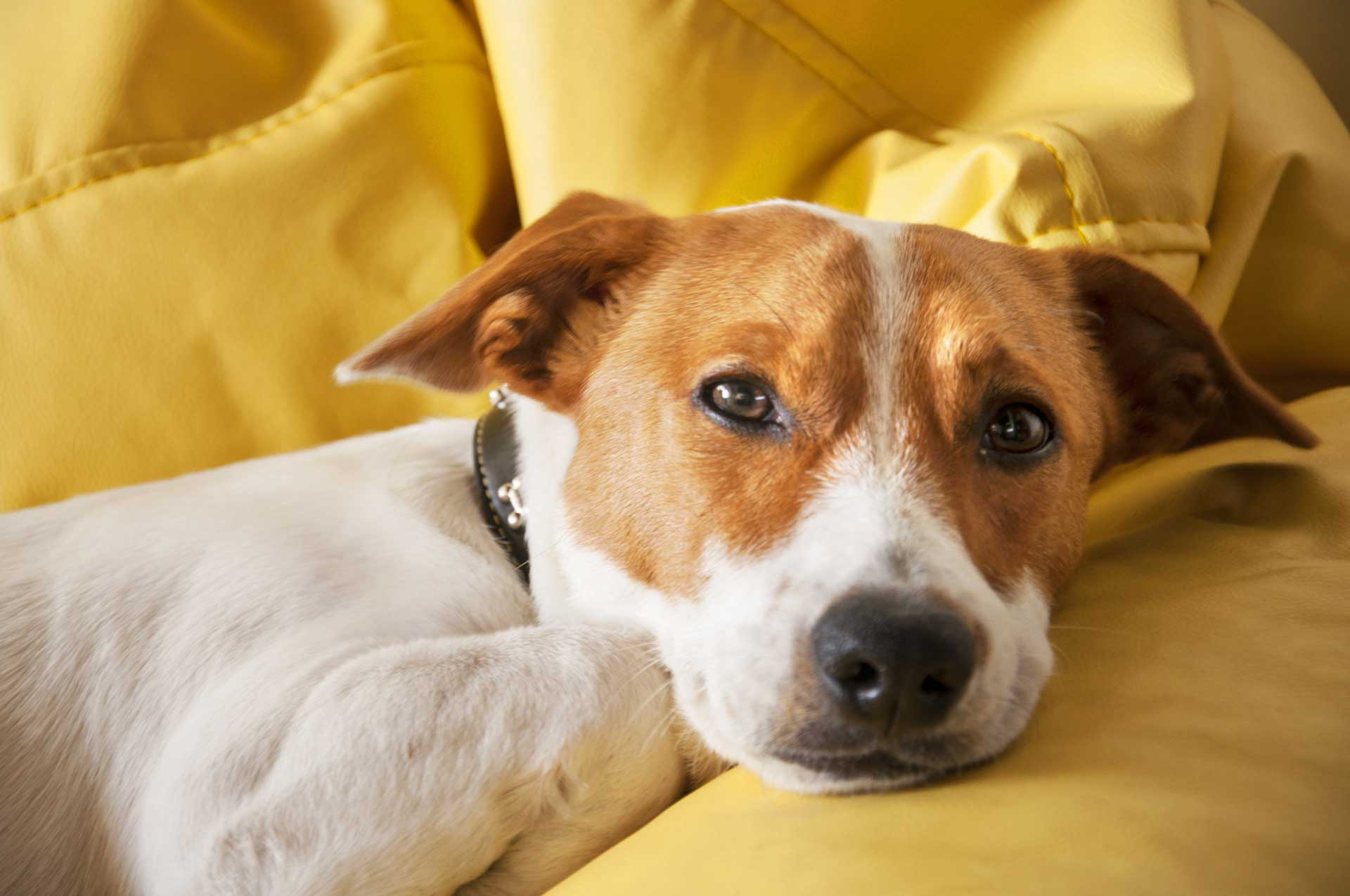 Image of dog on couch Couch cleaning for pet owners in Leesburg VA by Carpet Keepers