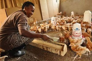 blog-29-poisoned-chickens-crack-clean-energy-glass-ceiling-in-kenya