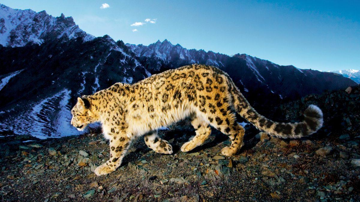 snow leopard trail