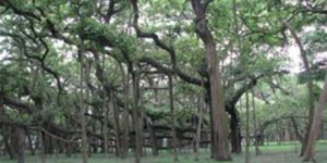 great-banyan-tree