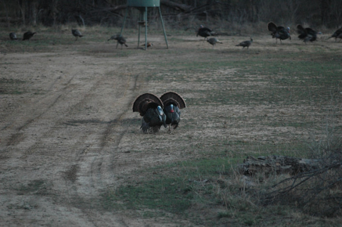 Turkey Hunting pictures