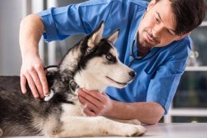 veterinarian examining husky dog