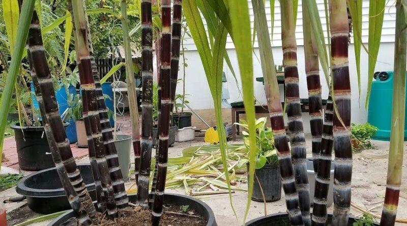 गमलों, पुरानी बाल्टियों या ड्रम में भी उगा सकते हैं गन्ना, जानिए कैसे समस्तीपुर Town