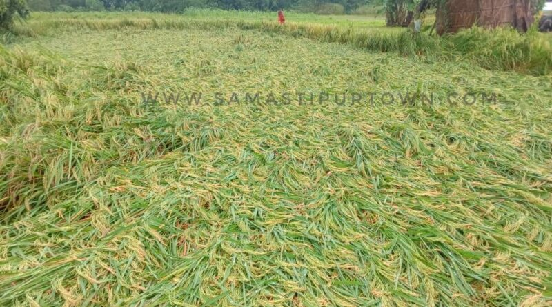 समस्तीपुर : किसानों की खुशहाली को लगी मौसम की नजर, फसल को भारी नुकसान समस्तीपुर Town