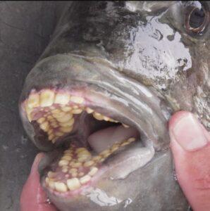 blackfish teeth