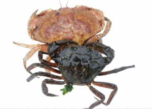 Green and Asian Crabs