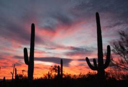 Sonoran Desert sunset with iconic Saguaro columnar cacti, Carnegiea gigantea, in Saguaro National Park, Arizona AZ, USA