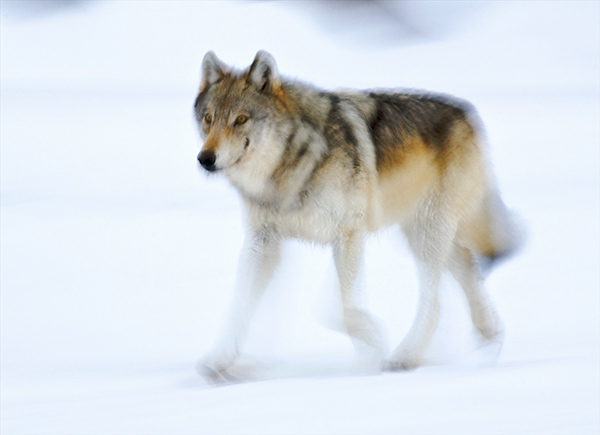 We Need Wolves