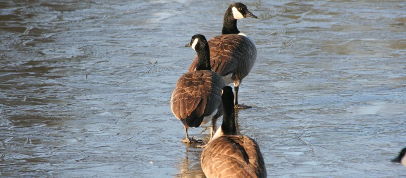 photo of a line of Canada Geese walking in the river