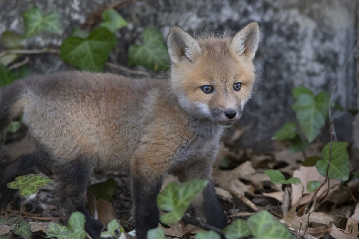 Baby fox. Photo by Sarah Mosteller.